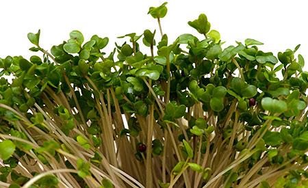 brokkolisprossen-bekaempfen-krebs-15000037-1