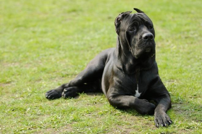 Cane corso dog in garden