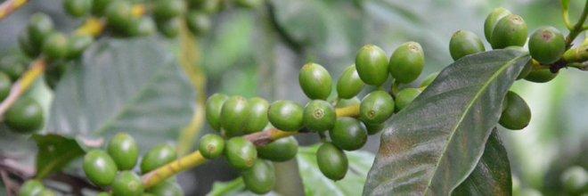 kaffee_coffea_bohnen_steinfruechte_pflanze_p