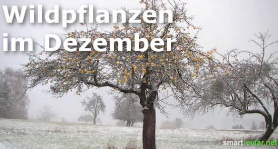 wildkraeuter-im-dezember-560x300