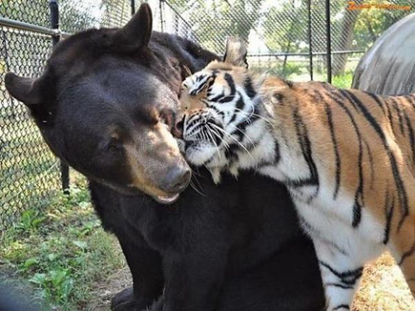 bär tiger