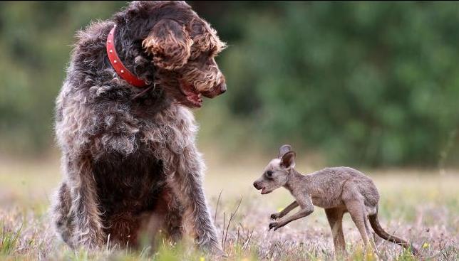 beutelhund
