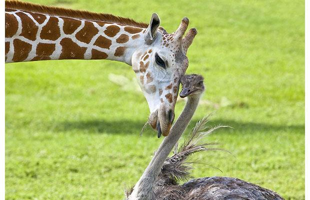 giraffe enu