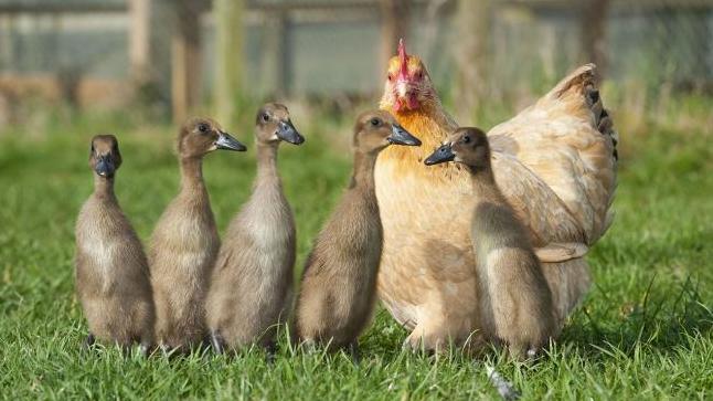 laufentenhühner