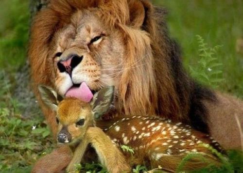 löwe und kitz