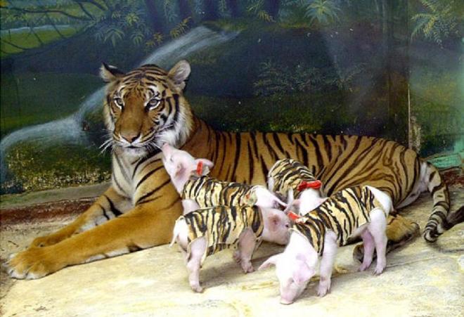 tiger schweinchen