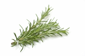 Fresh rosemary bunch with selective focus isolated on white background